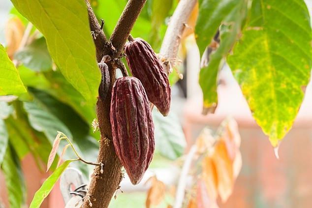 قدمت کاکائو چند سال و زادگاهش کجاست؟