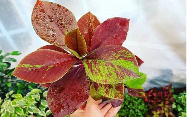 نحوه نگهداری گیاه فردوس (سینادیوم گرانتی) در آپارتمان